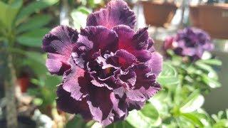 Адениум SuperStar летнее цветение. Ну совсем другой цветок!