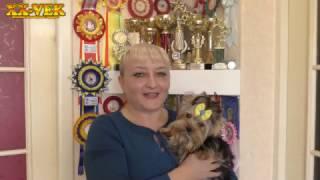 Как купить настоящего йорка - щенок йоркширского терьера Чапа