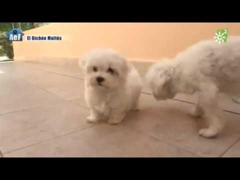 "Bichón maltés, perro de raza ""Animales en familia"""