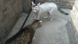 cat fighting |Two very angry male cats fighting brutally (watch with full  sound)