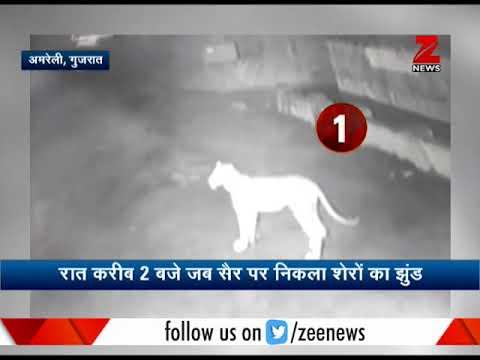 Watch: Lions spotted in Amreli, Gujarat | जंगल के राजा का नाईट वॉक