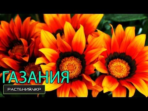 Газания выращивание из семян / африканская ромашка / многолетние низкорослые цветы