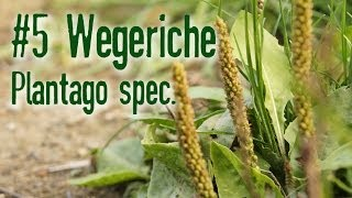 Outdoor Survival Doku: Wegeriche Plantago