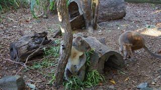 オーストラリアが誇る2大スター、コアラとカンガルー夢の競演。 カンガ...