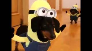 Dachshund Minions Are The Best Minions