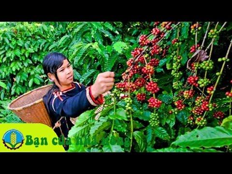 Kinh nghiệm, kỹ thuật chăm sóc cây cà phê (cafe) sau khi thu hoạch