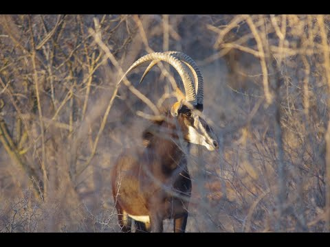 Trophy Sable Bow Hunt With Lee Nicols