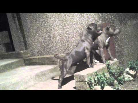 Blue staffordshire bull terriers guarding property