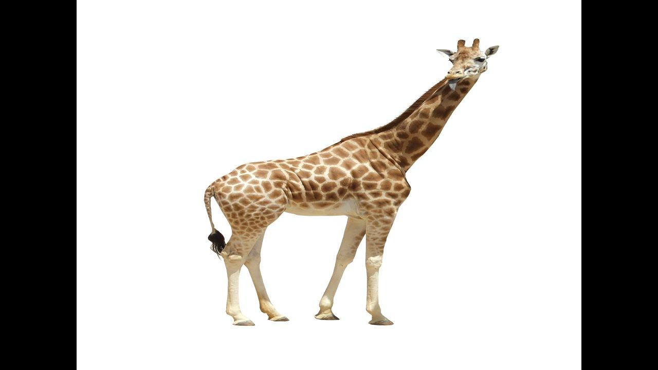 giraffe animals for children kids videos kindergarten preschool