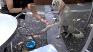 保護犬サルーキのサラちゃん すわれ・お手・おかわりも上手です! http:...