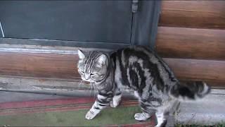 Британский кот, Вьетнамский поросенок
