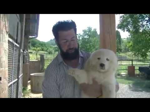 3.ENG.The maremma sheepdog grooming