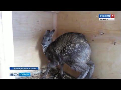 На Алтае продолжается проект по восстановлению популяции сибирской кабарги