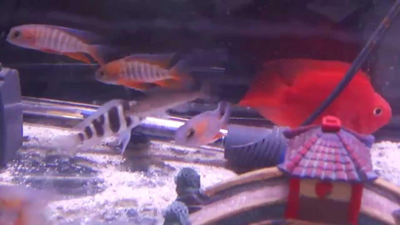Freshwater aquarium fish milwaukee - Milwaukee Aquatics New Shipment Of Freshwater Fish 5 16 14
