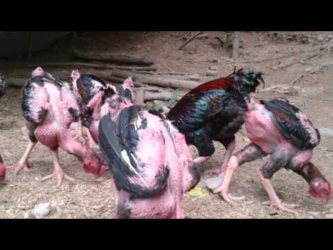 Gà Tiến Vua( Giống gà cực to và quý hiếm)III