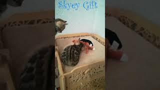 Бенгальские котята продажа, бенгальская кошка  bengalcattery