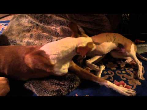 Ibizan hound and whippet puppies, gentle play