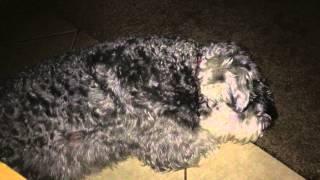 Schnauzer Sleep Barking