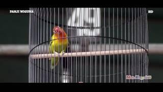 SUARA BURUNG : Aksi Love Bird Entah Milik Siapa Tampil Konslet Edan Di Danyon 408 Boyolali