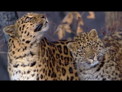 A Rare Sighting Of The Amur Leopard | Planet Earth | BBC Ear
