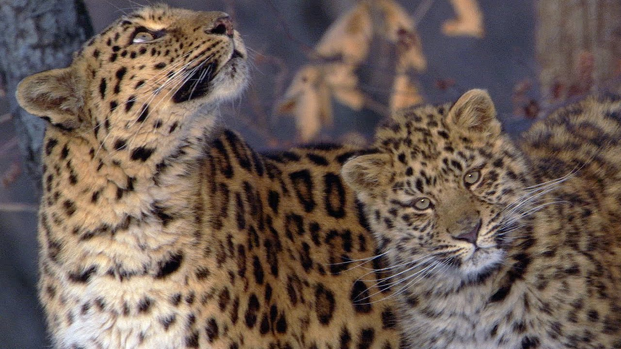 The Amur Leopard | Planet Earth | BBC Earth