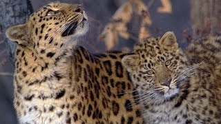 A Rare Sighting Of The Amur Leopard - Planet Earth - BBC Earth thumbnail