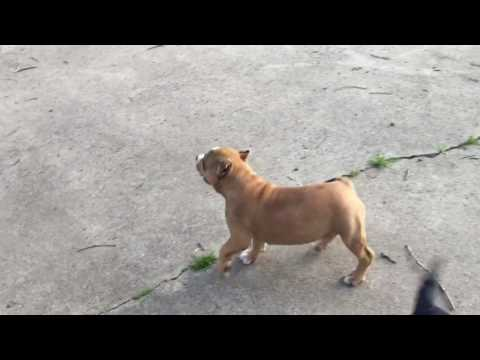 Carolina bully farms too phat puppy avail last chance
