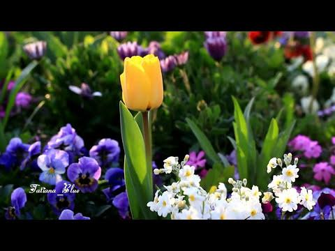 André Rieu - Nightingale Serenade (Toselli Serenade)