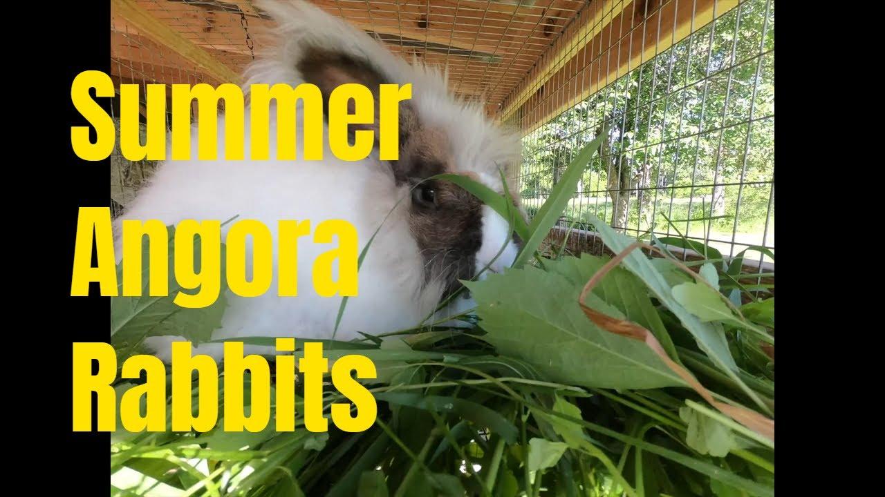 Angora rabbits in summer