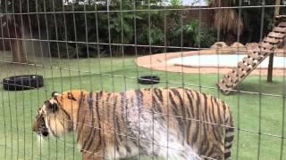 Tiger fight !