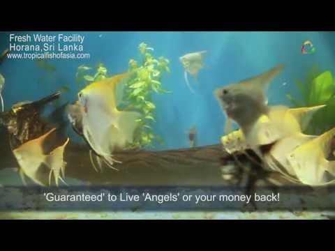 Tropical Fish International Pvt. Ltd - Freshwater Fish Varieties