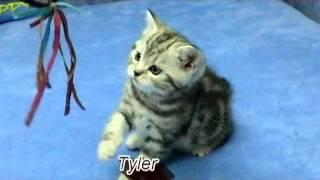 Британские котята окраса черный мрамор на серебре (Tamerlan and Tyler, 1 month 10 days)
