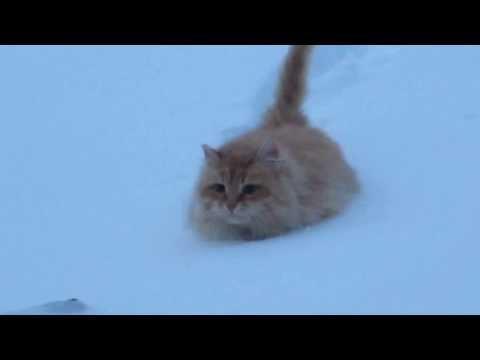 Russian cat in the snow  (Кот внедорожник покоряет сугробы)