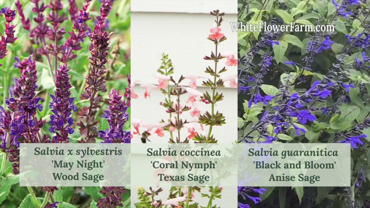 Growing Salvia Youtube