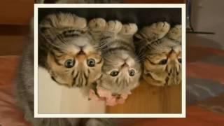 Эксклюзивные Шотландские Котята-Тигрята.