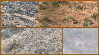 Desert Mule Deer and Coues Whitetail Deer Scouting in Arizona