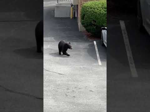 "A cub lost his ""bearings"" and was caught on video making the rounds in the parking lot of Normandy Village in Nanuet."