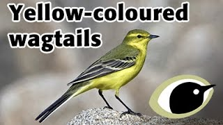 BTO Bird ID - Yellow-coloured wagtails