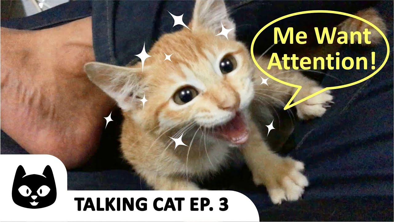 (Talking Cat Ep 3) Kitty And The Cats Wants Attention