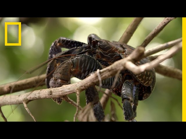 Coconut Crabs Devour Pig Carcass | Searching For Amelia