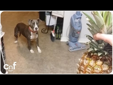 Pit Bull Dog Scared of Pineapple | Scaredy Dog