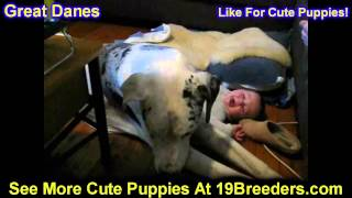 Great Dane, Puppies, For, Sale, In, Detroit, Michigan, Mi, Waverly, Holt, Inkster, Wyandotte, Forest