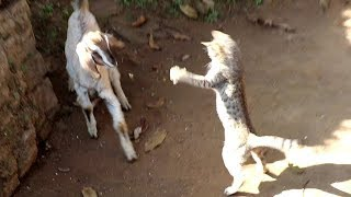 Cat attack to goat funny animal vines