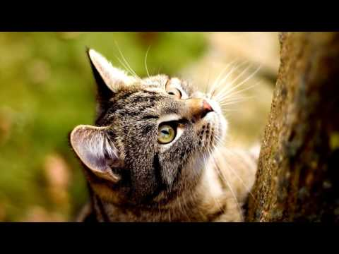 American Shorthair Cat,Description,History of the breed,Character, price.