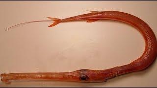 Loại Cá Dài Cả Mét Mà Dân Sành Ăn Đều Muốn Thử 1 Lần Trong Đời