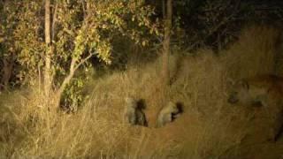 New hyaena den