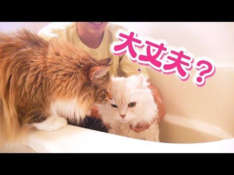 マロンをお風呂に入れたらちゃちゃが心配して見守ってくれました