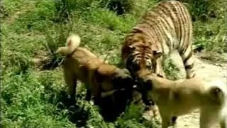 Turkish Dog Kangal Attacking Lion & Tiger !!!(Turkish Dog Kangal Attacking Lion & Tiger !!! Turkish Dog | Turkish Dog Kangal | World Strongest Dog in the world | Sivas Kangali | Coban Kopegi | Turk Aslani ..., 2013-11-27T00:23:35.000Z)