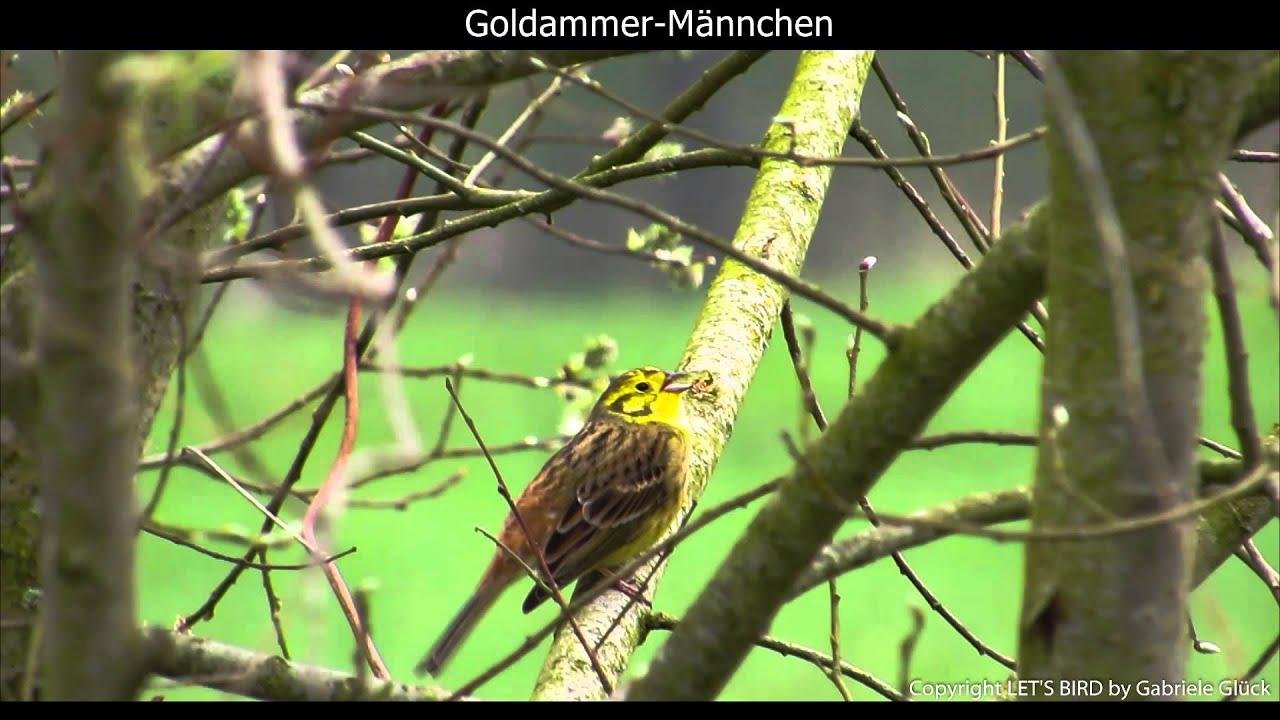 Goldammer Gesang