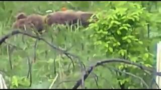 Охота. Нападение медведя  на охотников.